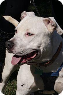 American Bulldog/Bulldog Mix Dog for adoption in Media, Pennsylvania - MONTY Hazel Eyes!