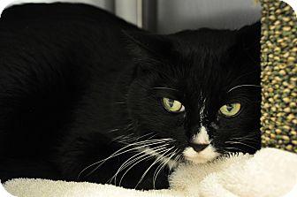 Domestic Mediumhair Cat for adoption in International Falls, Minnesota - Domino