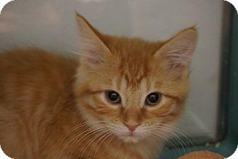 Domestic Shorthair Kitten for adoption in Farmington, New Mexico - Ahi Tuna