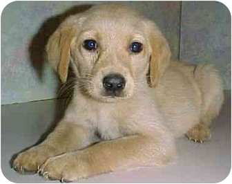 Labrador Retriever Mix Puppy for adoption in North Judson, Indiana - Sandy