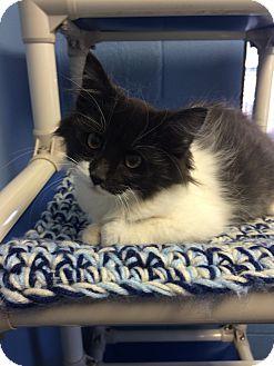 Domestic Shorthair Kitten for adoption in Germantown, Tennessee - Bennett