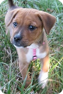 Boxer Mix Puppy for adoption in Huntsville, Alabama - Rose