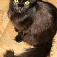 Domestic Mediumhair Cat for adoption in Memphis, Tennessee - Maddy