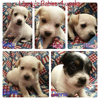 Shih Tzu/Cairn Terrier Mix Puppy for adoption in Chandler, Arizona - Liberty and pups coming soon