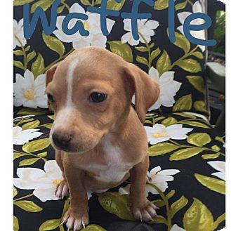 Chihuahua/Dachshund Mix Puppy for adoption in South San Francisco, California - Waffle