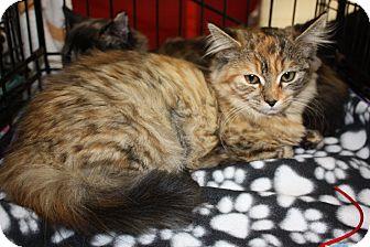 Domestic Mediumhair Kitten for adoption in Alamo, California - Fuzzy