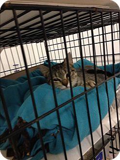 Domestic Shorthair Cat for adoption in Walker, Louisiana - Lucinda