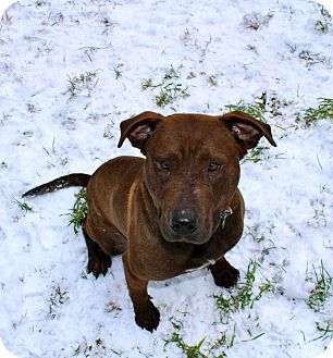 Shar Pei/Pit Bull Terrier Mix Dog for adoption in Smithers, British Columbia - Chase