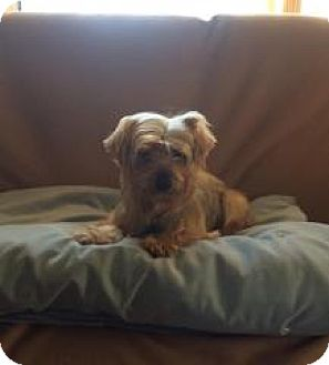 Yorkie, Yorkshire Terrier Dog for adoption in Streamwood, Illinois - Mercy