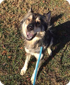 Shepherd (Unknown Type)/Husky Mix Dog for adoption in Hendersonville, North Carolina - Venus