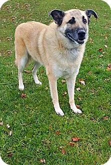 German Shepherd Dog Mix Dog for adoption in Wapakoneta, Ohio - Bo