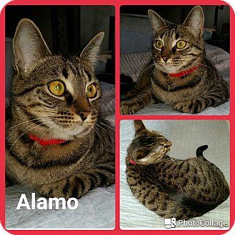 Domestic Shorthair Cat for adoption in Arlington/Ft Worth, Texas - Alamo
