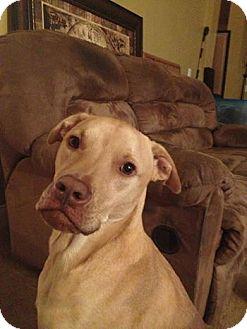 Labrador Retriever Mix Dog for adoption in Warsaw, Indiana - Magnum