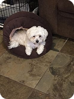 Maltese/Poodle (Miniature) Mix Dog for adoption in Pleasanton, California - Toby