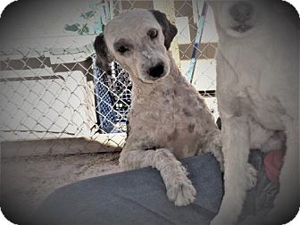 Poodle (Miniature)/Terrier (Unknown Type, Medium) Mix Dog for adoption in Golden Valley, Arizona - Brady