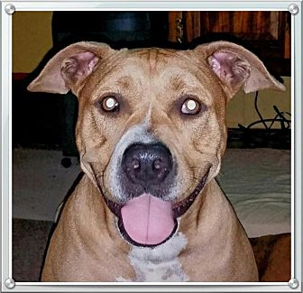 Pit Bull Terrier Dog for adoption in Dickinson, Texas - Sophie(CP)