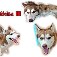 Adopt A Pet :: Nikita III - Seminole, FL