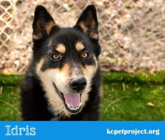 Shepherd (Unknown Type)/Husky Mix Dog for adoption in Kansas City, Missouri - Idris