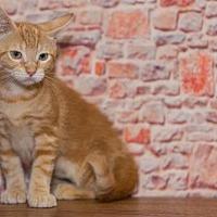Adopt A Pet :: Shepherd - Alpharetta, GA