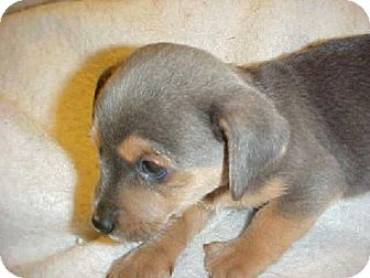 Cairn Terrier/Chihuahua Mix Puppy for adoption in Anderson, South Carolina - Smoky