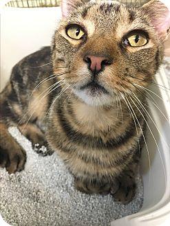 Domestic Shorthair Cat for adoption in Pottsville, Pennsylvania - Timmy