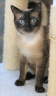 Domestic Shorthair/Domestic Shorthair Mix Cat for adoption in Lake Panasoffkee, Florida - Siam