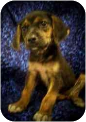 Shepherd (Unknown Type)/Beagle Mix Puppy for adoption in Old Bridge, New Jersey - Garbo