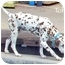 Photo 3 - Dalmatian Dog for adoption in Mandeville Canyon, California - Toffee