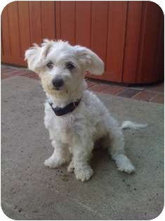 Poodle (Miniature) Mix Dog for adoption in Tustin, California - Charlie