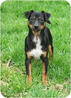 Chihuahua/Dachshund Mix Puppy for adoption in Rochester, Michigan - Annie