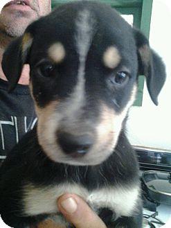 Australian Shepherd Mix Puppy for adoption in Browns Mills, New Jersey - Sam