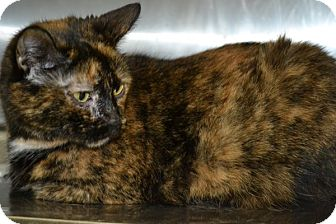 Domestic Shorthair Cat for adoption in Elyria, Ohio - Daphne