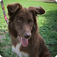 Adopt A Pet :: Amber - Frisco, TX
