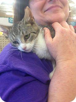 Domestic Shorthair Kitten for adoption in Lexington, Kentucky - Fallon