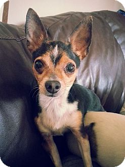 Chihuahua Mix Dog for adoption in Romeoville, Illinois - Vinnie