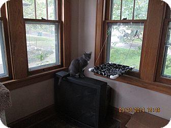 Domestic Shorthair Cat for adoption in Rochester, Minnesota - Sophie