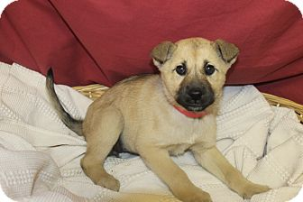 Husky Mix Puppy for adoption in Waldorf, Maryland - Blizzard