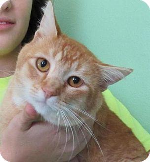Domestic Shorthair Cat for adoption in Port St. Joe, Florida - Firepaw