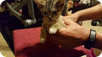 Domestic Shorthair Kitten for adoption in Arlington/Ft Worth, Texas - Carmen