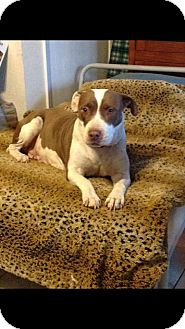 American Pit Bull Terrier Mix Dog for adoption in Lincoln, California - Chola