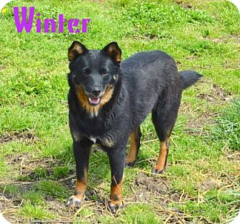 Shiba Inu Mix Dog for adoption in Jasper, Indiana - Winter