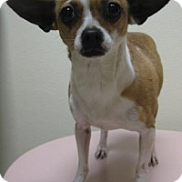 Adopt A Pet :: ChiChi - Gary, IN
