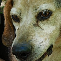 Beagle Dog for adoption in Millerstown, Pennsylvania - NILE
