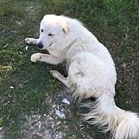 Adopt A Pet :: Sam LGD - Kyle, TX