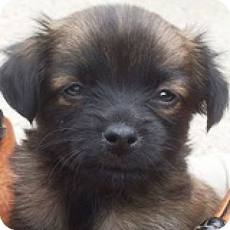 Dachshund/Chihuahua Mix Puppy for adoption in Houston, Texas - Pinky Pinchhitter