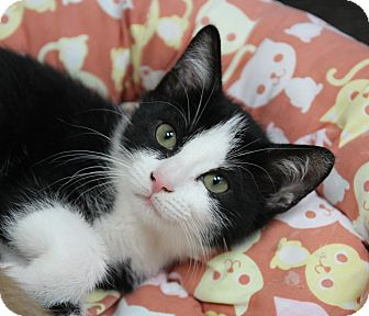 Domestic Shorthair Kitten for adoption in Benbrook, Texas - Beckie
