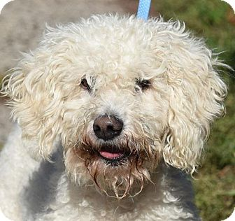 Poodle (Miniature)/Bichon Frise Mix Dog for adoption in New Haven, Connecticut - ALBERTO