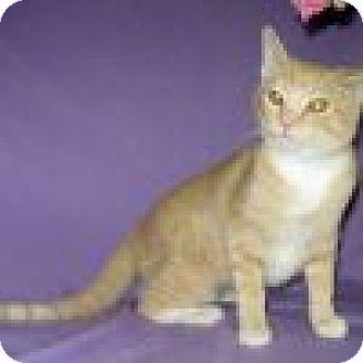 Domestic Shorthair Cat for adoption in Powell, Ohio - Chianti