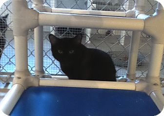 Domestic Shorthair Cat for adoption in Geneseo, Illinois - Castle