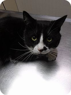 Domestic Shorthair Kitten for adoption in Northfield, Ohio - Anubis